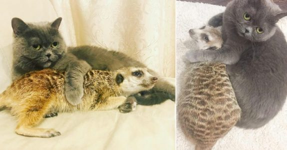 Ingen visste hvordan det skulle gå når katten og surikaten møttes. Nå er de bestevenner!